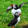 Scotland Puffin seduction art