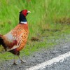 Scotland Ring-necked Pheasant