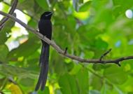 Seych. Paradise-flycatcher – m.