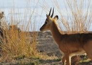 Zambia – Young male Puku Antelope