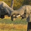 Zambia – Elephant congratulations