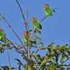 Zambia – Lilian's Lovebirds