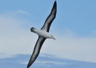 Black-browed Albatros