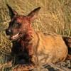 Bloodthirsty Wild Dog
