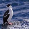 Blue-eyed Cormorant