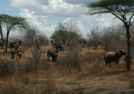 Elephants crossing the bush