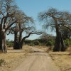 Baobabs along the road