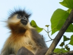 India Capped Langurs