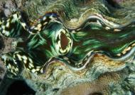 Giant Clam