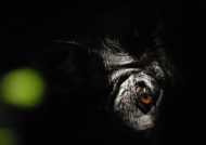 Gorilla's eye