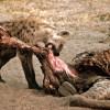 Hyena under leopard's eyes