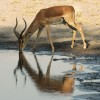 Impala-Nature beauty!