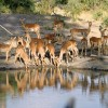 Group of Impalas
