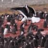 Kelp Gull Penguin's predator