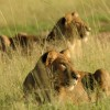 Lions looking for a prey