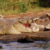 Nile crocodiles-Lake chamo