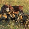 « Sharing » meat with Wild Dogs