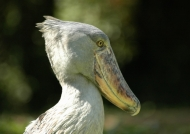 Shoe-billed Stork