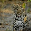 Young leopard in admiration