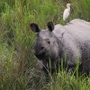 Kaziranga-One-horned Rhino