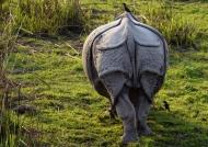 One-horned Rhino (bottom)
