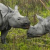 Rhino morning kiss