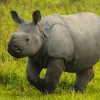 India-Kaziranga NP-Young One-horned Rhino