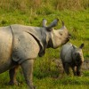 Kaziranga-One-horned Rhinos