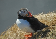 Puffin's life