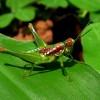 Amazon Grasshopper