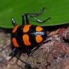 Aposematic fungus Beetle