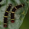 Caterpillar…