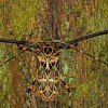 Harlequin Longhorn Beetle
