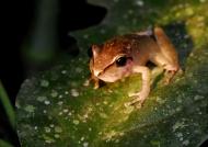 Amazon Hyla Tree Frog