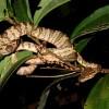 Amazon Tree Boa