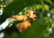 Brown Capuchin