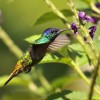 Peru – Amazonia – Golden-tailed Sapphire