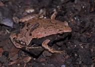 Hamptophryne Bolivien