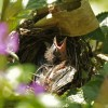 Chick of Tanager
