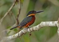 Green & rufous Kingfisher