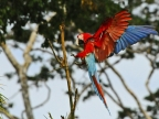 Red & green Macaws