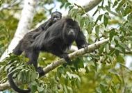 Yucatan Black Howler Monkey
