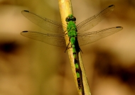 Green-striped Dragonfly