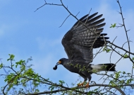 Male Snail Kite with a snail