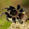 Mexican Red-Rump Tarantula