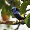 Belize – Red-legged Honeycreeper