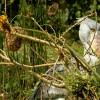 Shoe-billed Stork – Uganda Africa