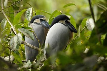 Boat-billed Herons in Belize