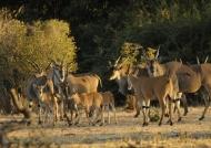 Herd of Elands
