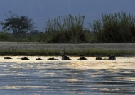 Hippos relaxing at Sunset